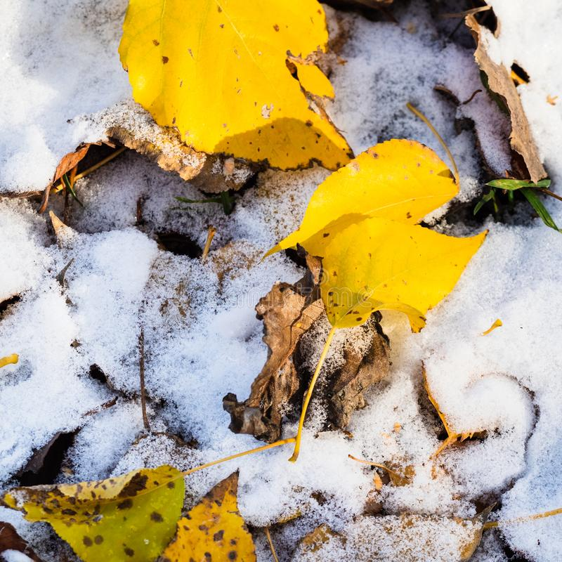 Gevallen die bladeren dicht omhoog op gazon met sneeuw wordt behandeld stock foto