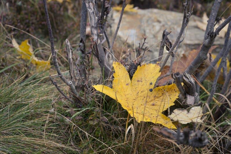 Gevallen esdoorn geel blad stock foto