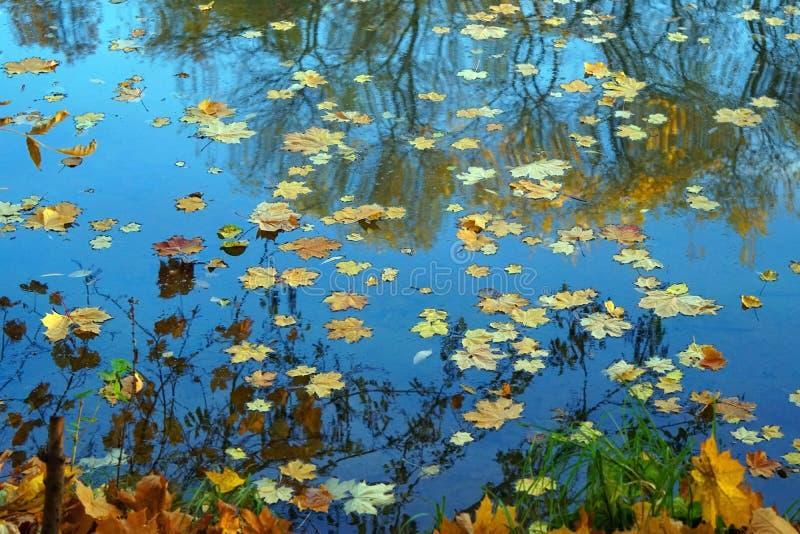 Gevallen esdoornbladeren op de oppervlakte van het water Tekens van de gouden herfst royalty-vrije stock afbeelding