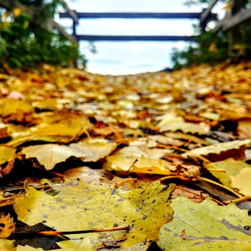Gevallen gele bladeren stock foto's