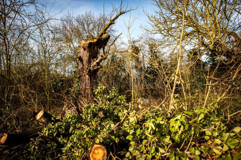 Gevallen haagboom stock afbeeldingen