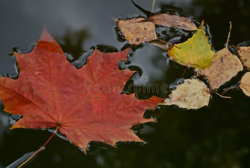 Gevallen helder esdoornblad in de regen Gevallen de herfstbladeren in een vulklei Regen, de herfstpark stock foto's