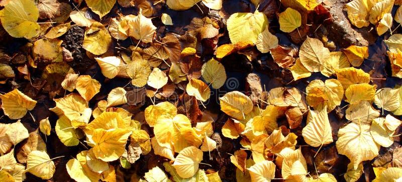 Gevallen kleurrijke geeloranje bladeren in donkere vulklei van water in zonneschijn als mooie gouden de herfstachtergrond stock afbeelding