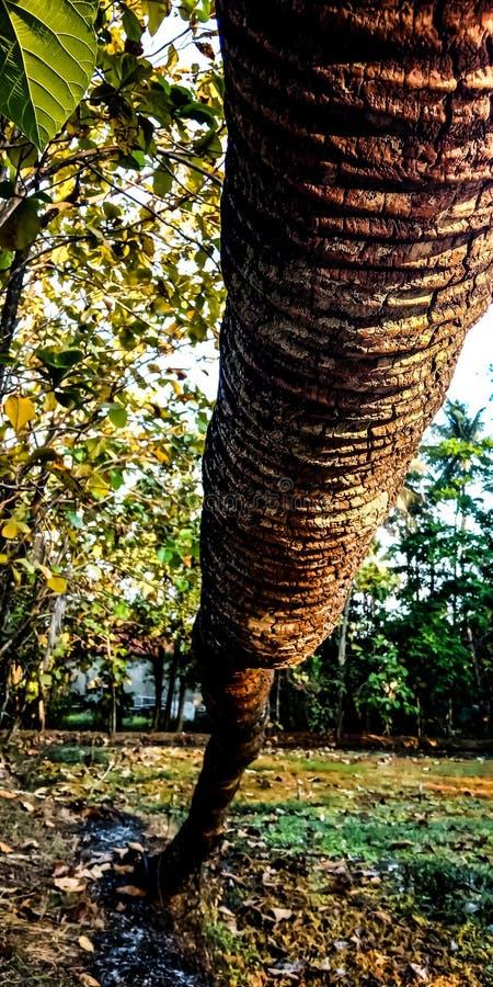 Gevallen kokospalmen stock afbeelding