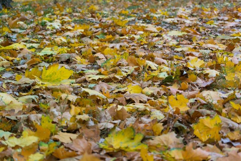 Gevallen vergeeld gebladerte van bomen in de vroege herfst stock fotografie