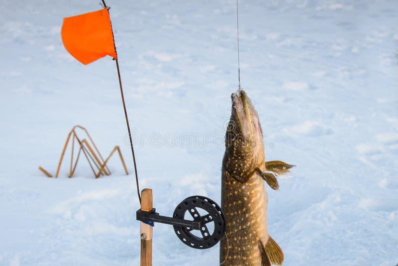 Gevangen enkel snoeken door tip-up uitrusting, close-up De sneeuwwinter visserij royalty-vrije stock foto