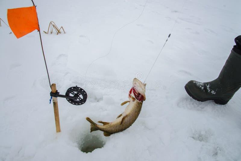 Gevangen enkel snoeken door tip-up uitrusting, de sneeuwwinter visserij stock afbeelding