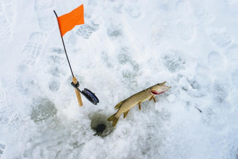 Gevangen enkel snoeken door tip-up uitrusting, de sneeuwwinter visserij stock foto's