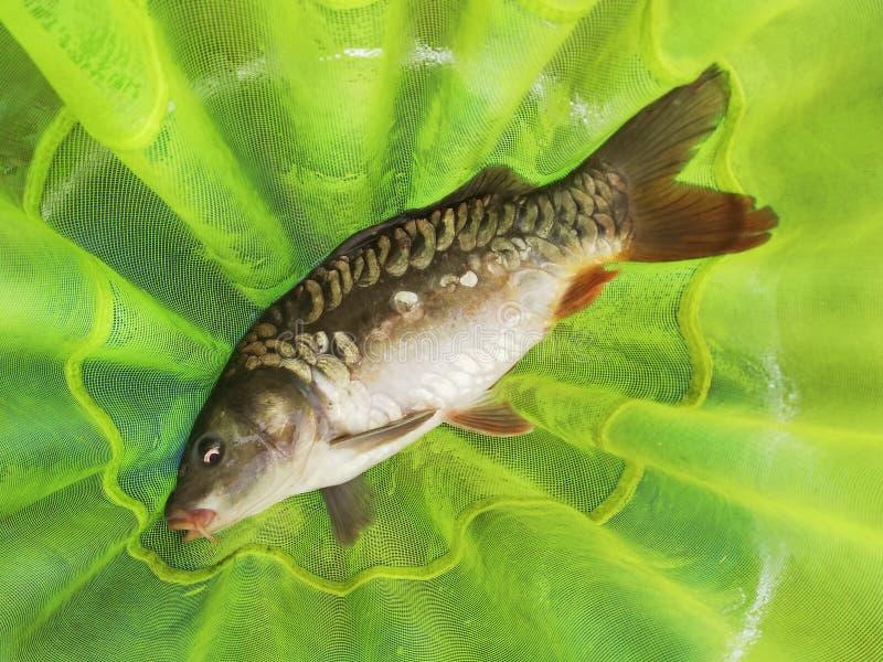 Gevangen karpervissen in een visnet stock afbeeldingen