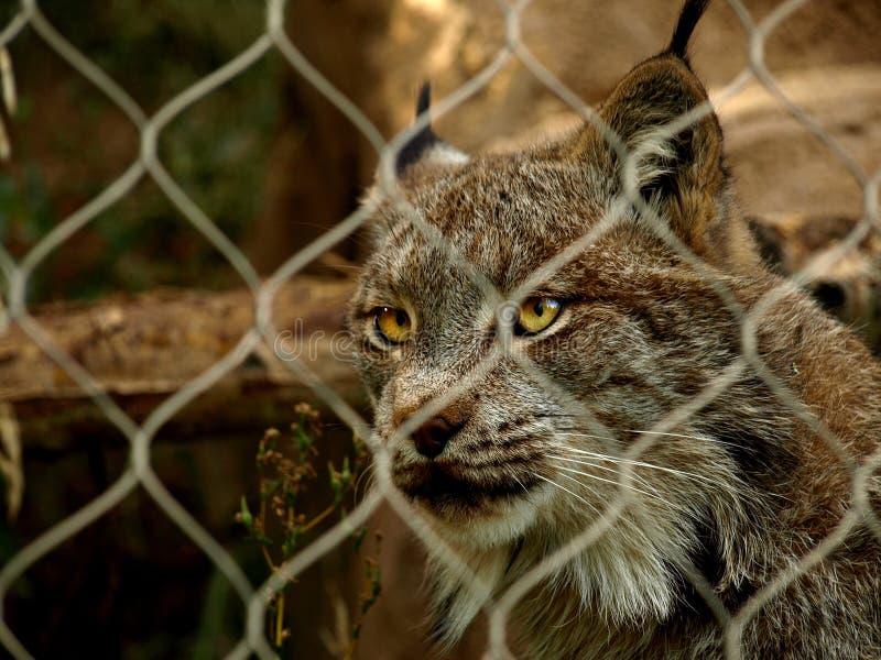 Gevangen Lynx Stock Foto's