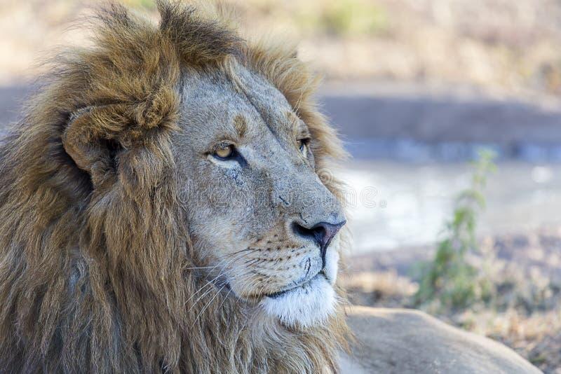 gevangen mannelijke leeuw met verre intense starende blik stock fotografie