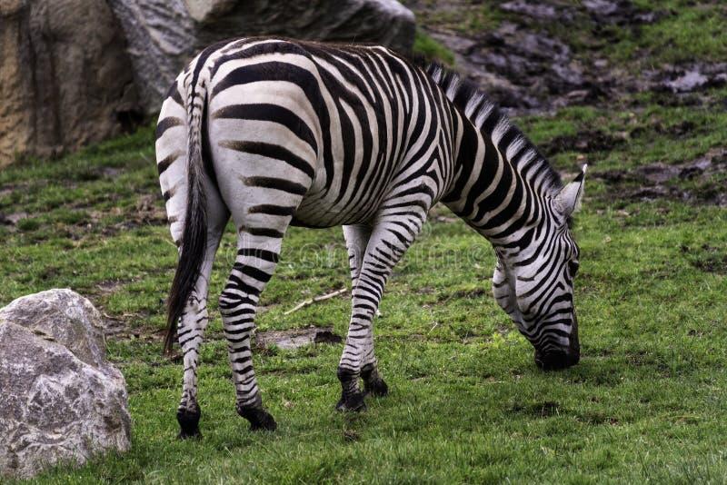 Gevangen quagga van vlaktes gestreepte Equus stock fotografie