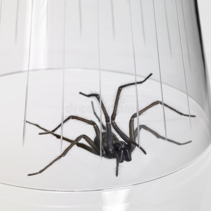 Gevangen spin onder een glaskom royalty-vrije stock afbeeldingen