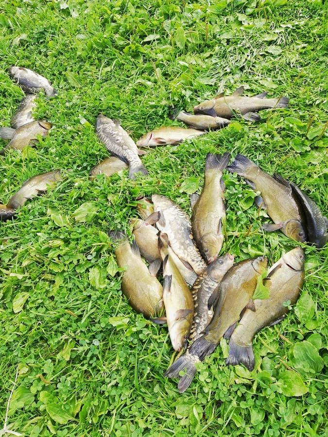 Gevangen vissenzeelten en karper op het gras door het meer stock afbeeldingen