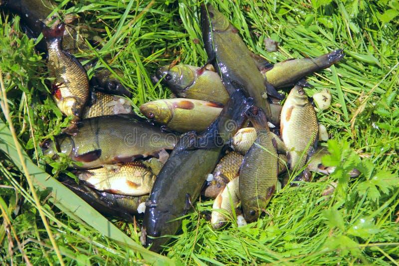 Gevangen zeelten en crucians op groen gras Succesvolle visserij stock afbeeldingen
