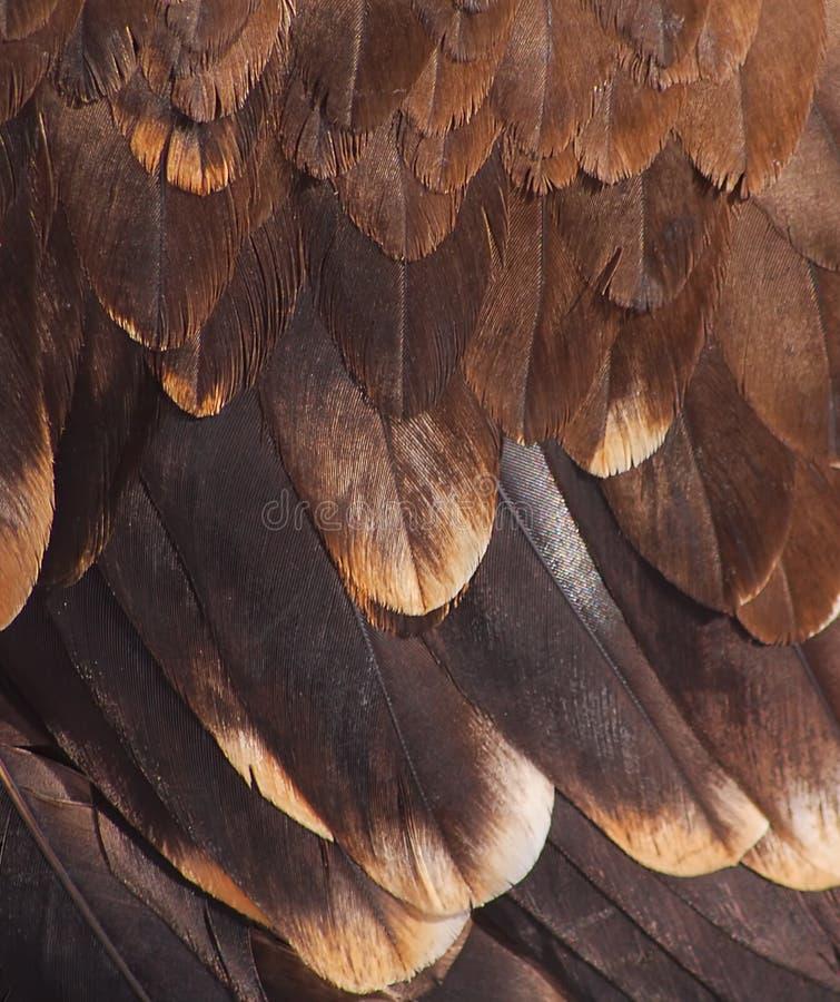 Gevederte van een gouden adelaar stock afbeeldingen