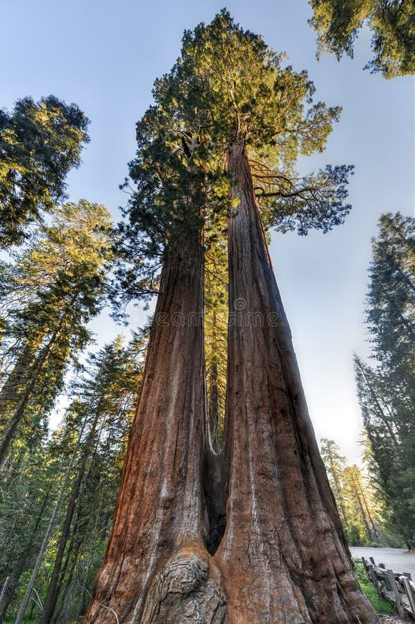 Geverschmolzene riesiger Mammutbaum-Bäume lizenzfreies stockbild