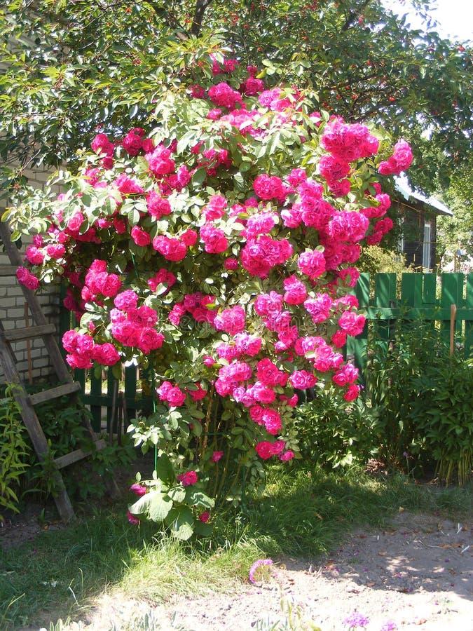 Gevlechte rozen rond een buitenhuis royalty-vrije stock afbeeldingen