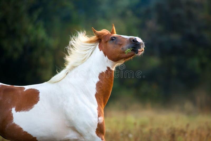 Gevlekt paardportret royalty-vrije stock foto's