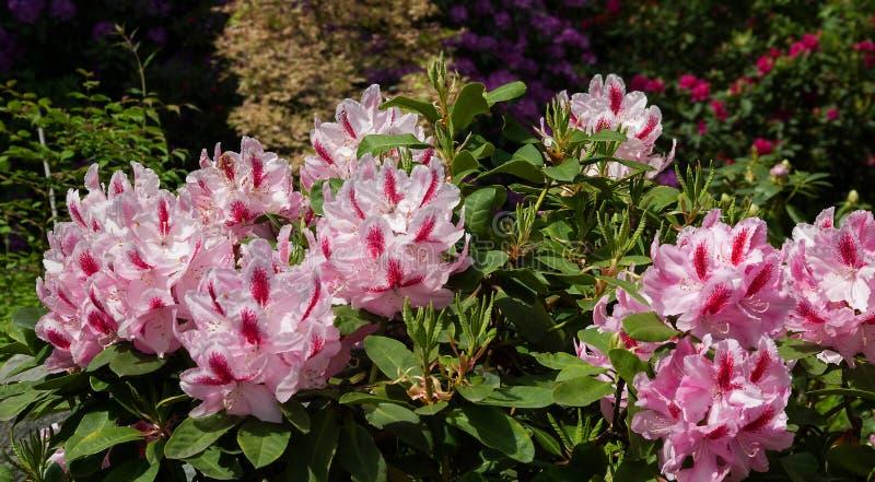 Gevlekte roze rododendronbloei royalty-vrije stock afbeelding