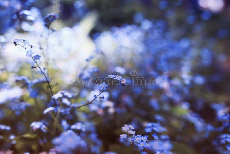 Gevoelig bloeit weinig vergeet-mij-nietje van diverse schaduwen van blauw en roze gekregen die in de de lente zonnige tuin wordt  stock afbeeldingen