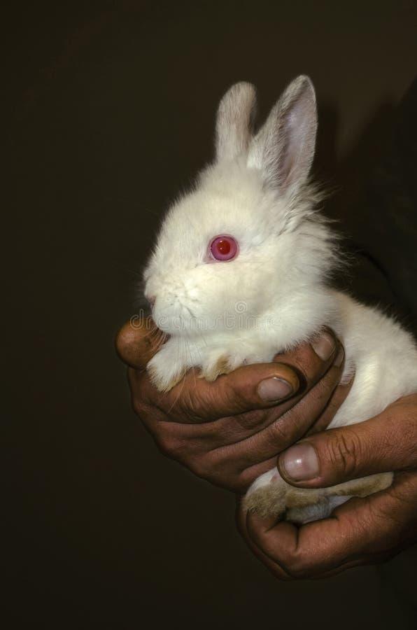 Gevoelig klein wit konijn in ruw, maar teder het omhelzen van de handen van de mens royalty-vrije stock fotografie