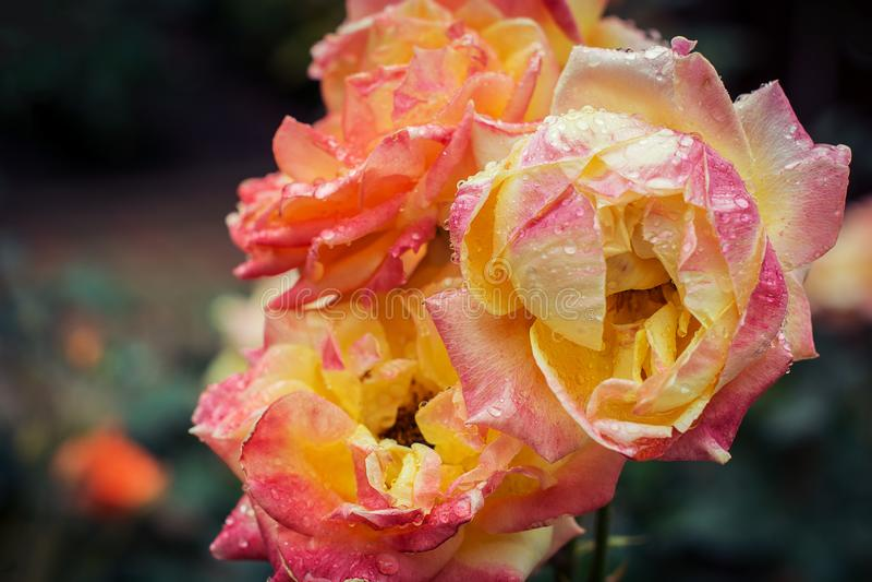 Gevoelig nam bloemen in gele en perziktinten op een tak met groene bladeren toe, rijk aan dalingen van dauw na een regen close-up stock afbeelding