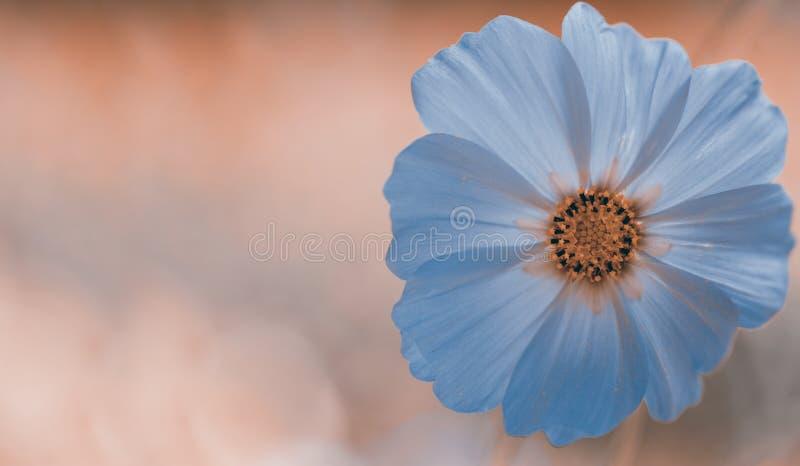 Gevoelige achtergrond met één bloem De achtergrond van de de lentepastelkleur, kalme kleuren Plaats om tekst op te nemen Voor kaa royalty-vrije stock foto