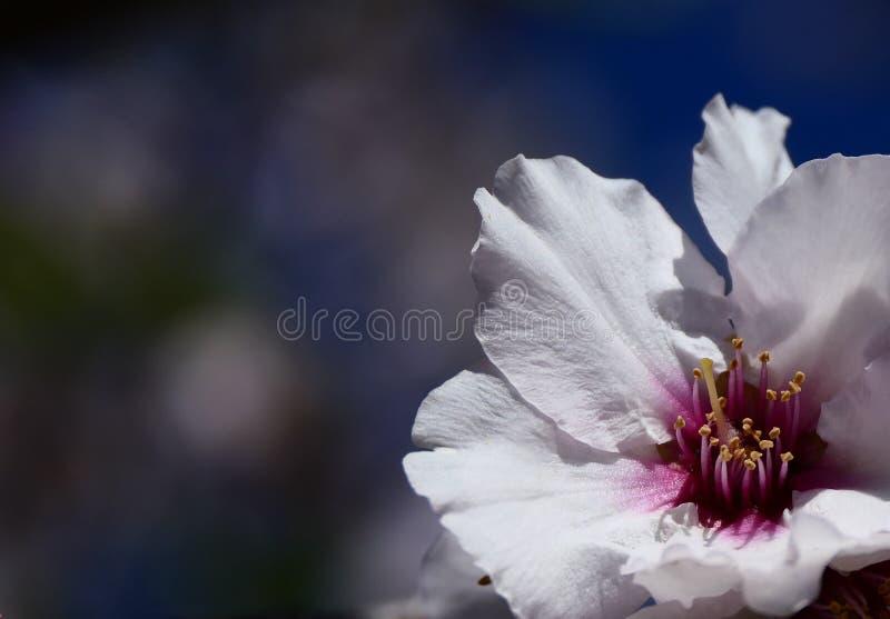Gevoelige bloem van amandelboom stock afbeeldingen