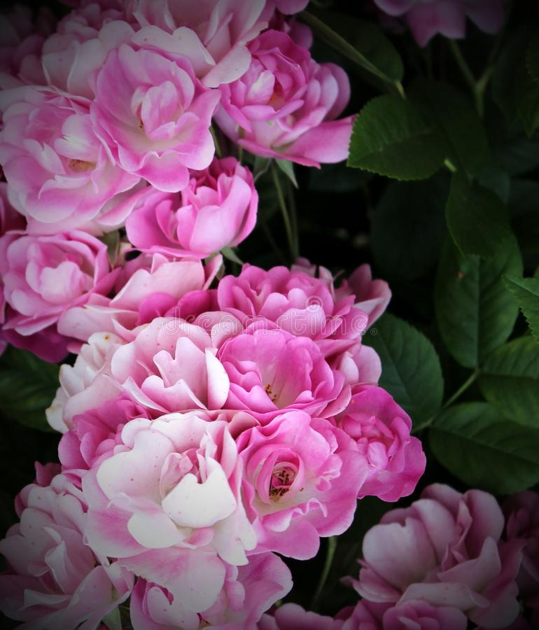 Gevoelige bloemenrozen stock foto