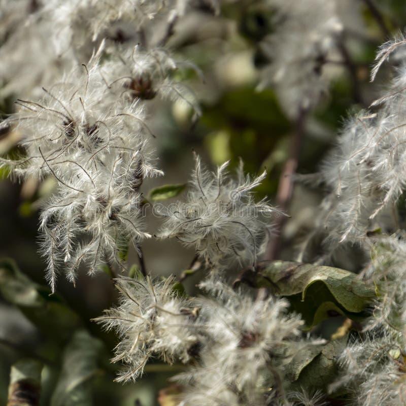 Gevoelige en pluizige witte zaden van Clematissenvitalba De partij van hoofden leidt tot het effect van sneeuw op de struiken stock fotografie