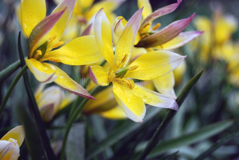 Gevoelige gele bloemen op regenachtige dag royalty-vrije stock afbeelding