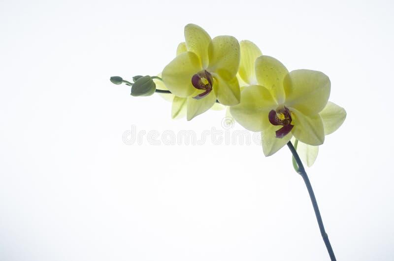 Gevoelige gele orchideebloesem royalty-vrije stock foto