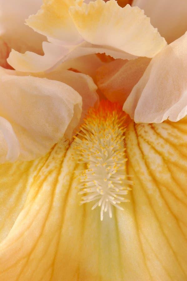 Gevoelige Iris royalty-vrije stock foto