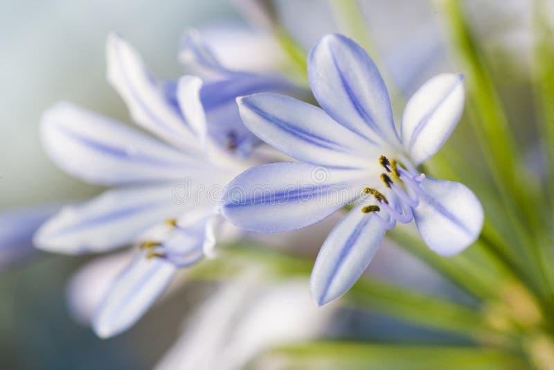 Gevoelige kleine krokus zoals bloeiende bloem in wit en lilac royalty-vrije stock afbeelding