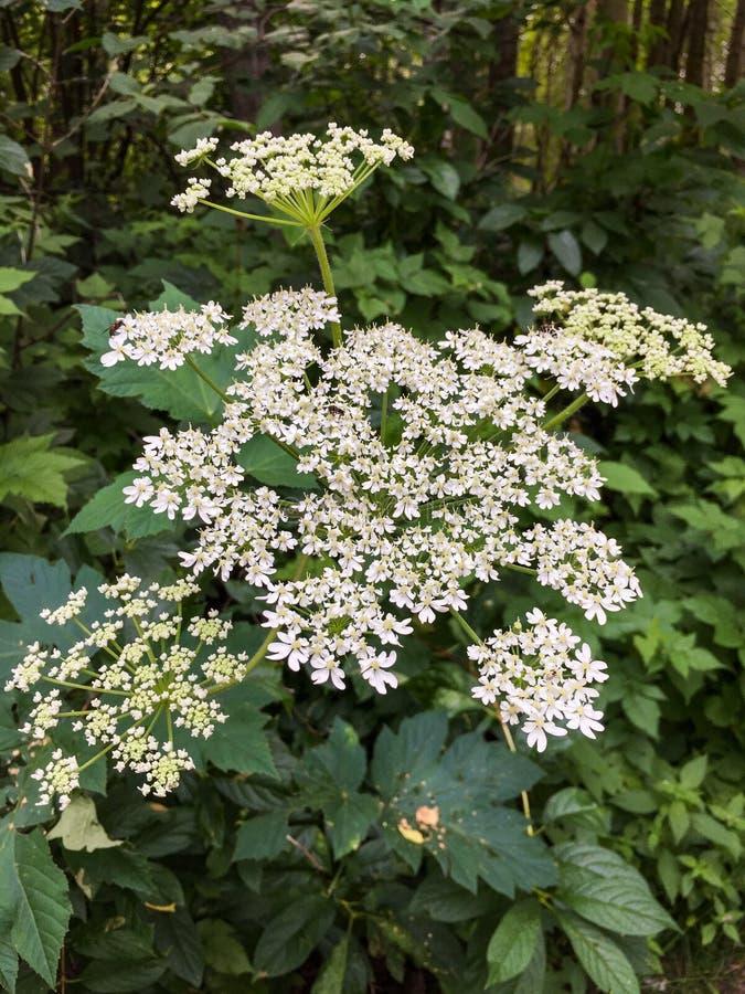Gevoelige lacey witte bloemen van Koepastinaak, Heracleum-maximus, in bos royalty-vrije stock afbeeldingen