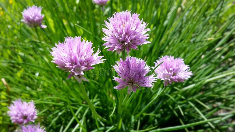 Gevoelige lilac bloemen van verse groene uien royalty-vrije stock afbeeldingen