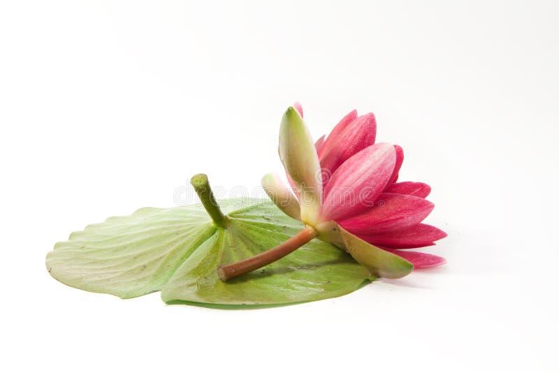 Gevoelige lotusbloem stock foto's