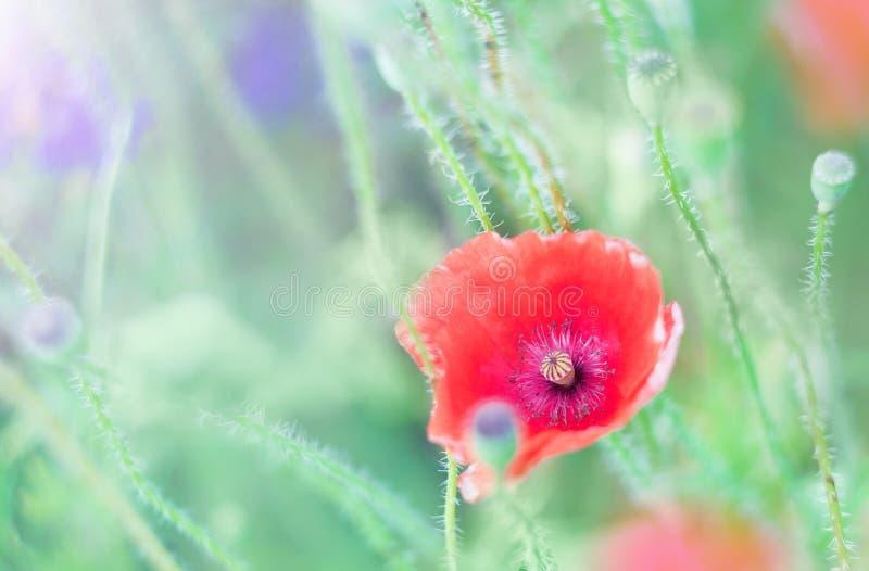 Gevoelige papaverbloemen op het gebied royalty-vrije stock afbeeldingen