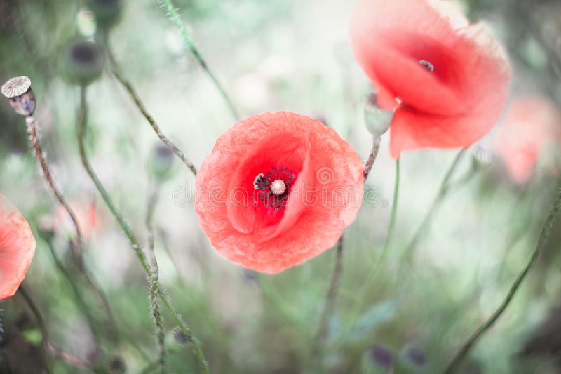 Gevoelige papaverbloemen op het gebied royalty-vrije stock fotografie