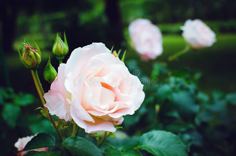 Gevoelige roze nam onder groene bladeren in de tuin toe Mooie de zomerachtergrond royalty-vrije stock afbeeldingen