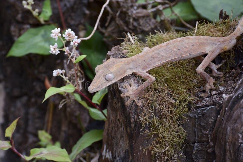 Gevoerde leaftail gekko (Uroplatus), Madagascar royalty-vrije stock foto