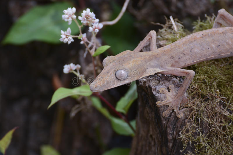 Gevoerde leaftail gekko (Uroplatus), Madagascar stock foto