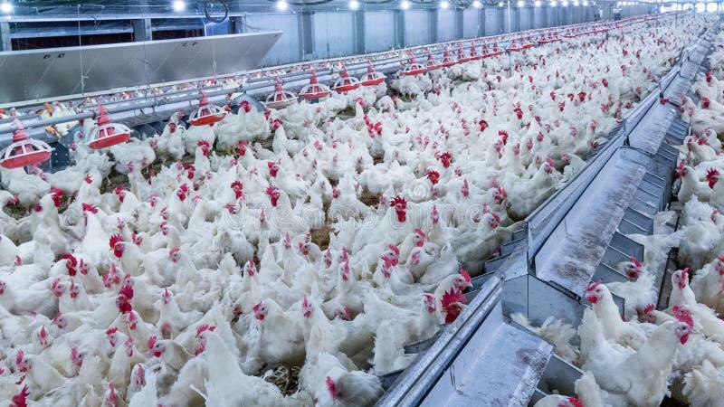 Gevogeltelandbouwbedrijf met de kip van de grillkweker stock foto
