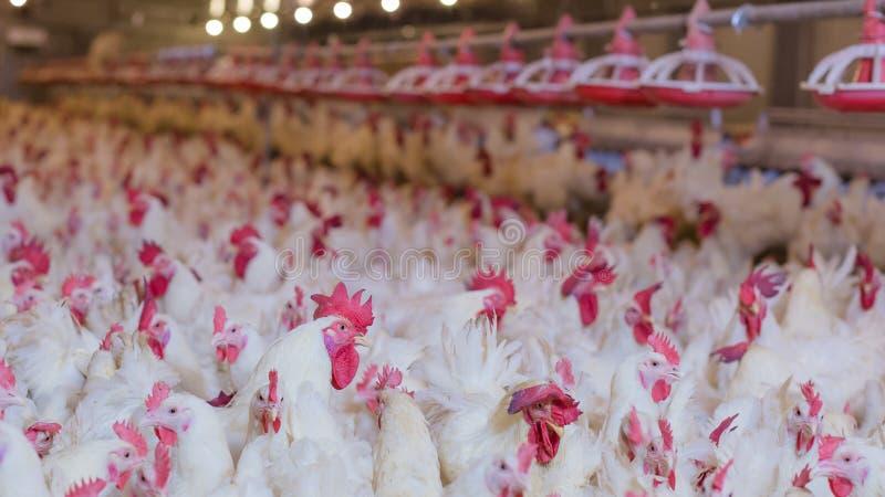 Gevogeltelandbouwbedrijf met de kip van de grillkweker royalty-vrije stock fotografie