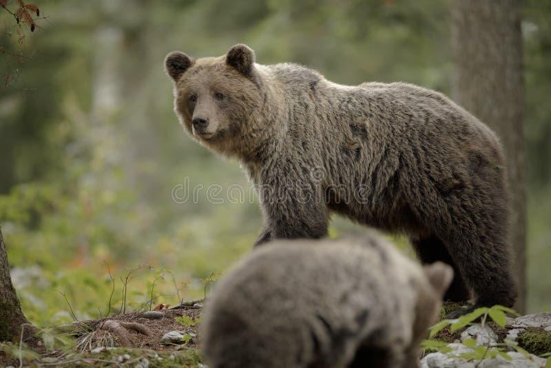 Gevolgde moederbeer royalty-vrije stock afbeeldingen