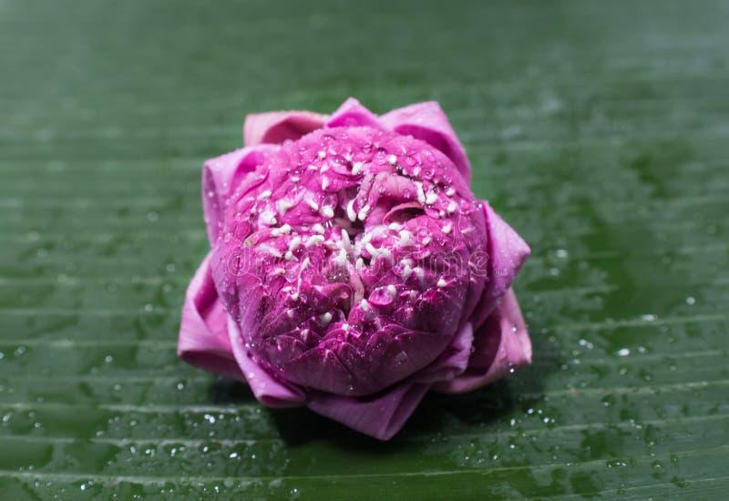 Gevouwen bloemblaadjes roze lotusbloem stock foto