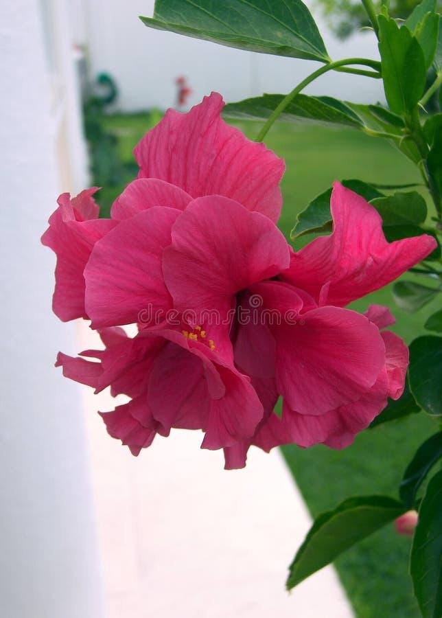 Gevouwen bloemhibiscus, donkere roze kleur royalty-vrije stock afbeeldingen