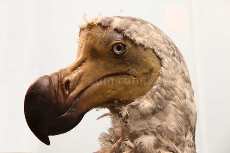 Gevuld Dodo royalty-vrije stock foto