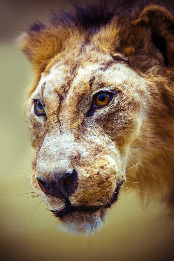 Download Gevulde Leeuw In Een Museum Stock Foto - Afbeelding bestaande uit neus, zoogdier: 39102012